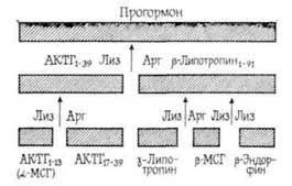 Цілі молекули пептидних гормонів
