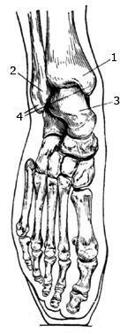 Гомілковостопний суглоб