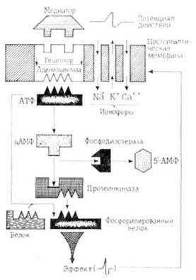 Хімічна ідентифікація деяких рецепторних ділянок