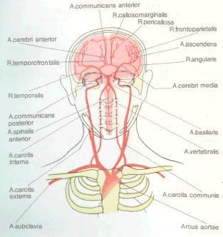 Артерії головного мозку (вид спереду)