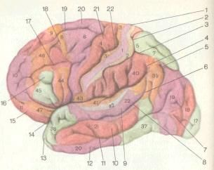 Морфологія нервової системи (карта цитоархитектонических полів)